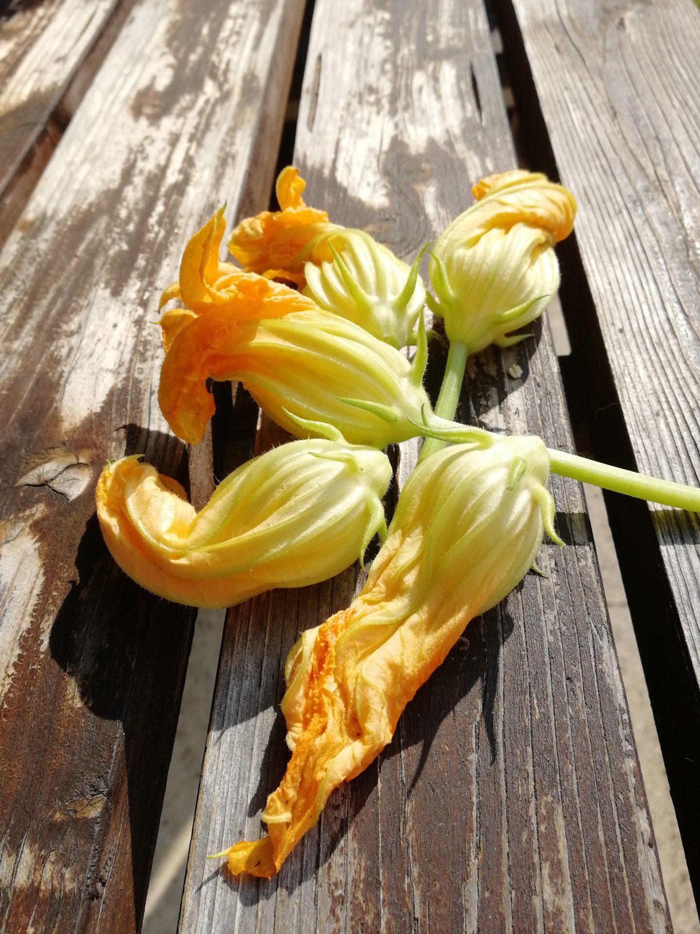 Fiori di Zucca – gefüllte Zucchiniblüten